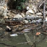 Cocodrilo en peligro de extinción murió en el Cañón del Sumidero por ingerir plástico
